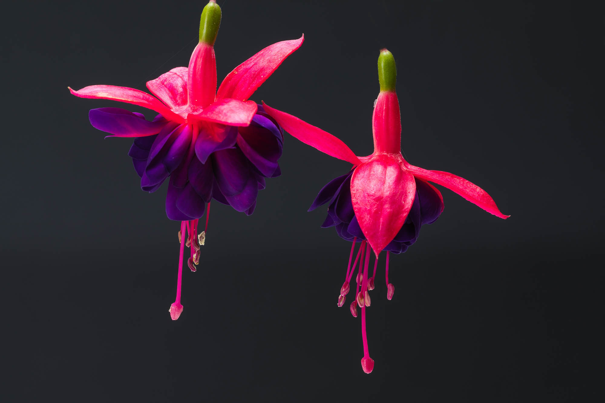 fine art image of fuchsia playfully suggesting a resemblance to ballerinas