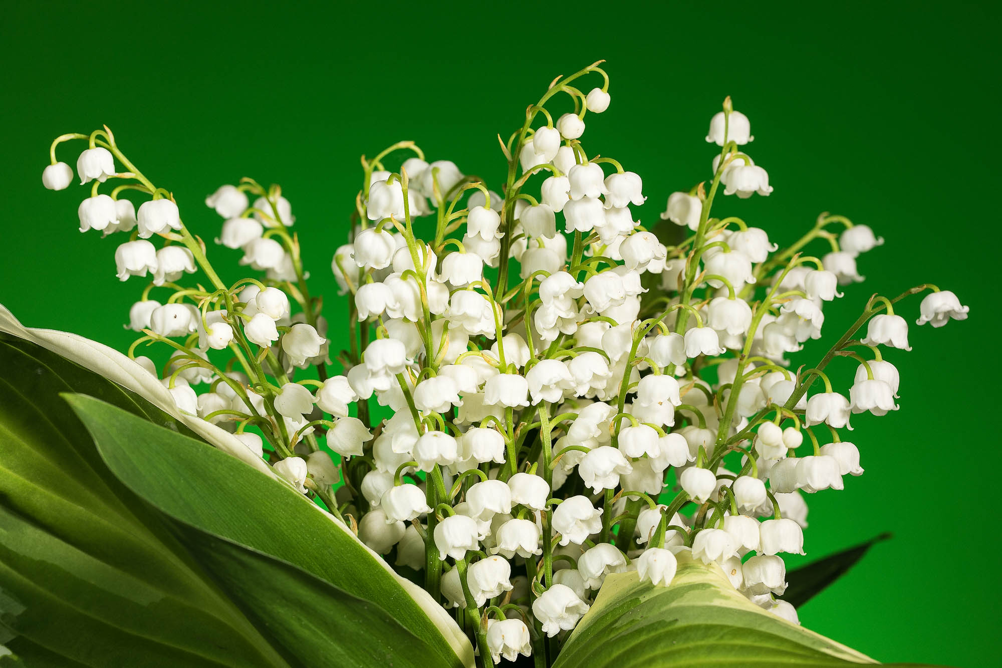 image of lily of the valley with hosta leaves