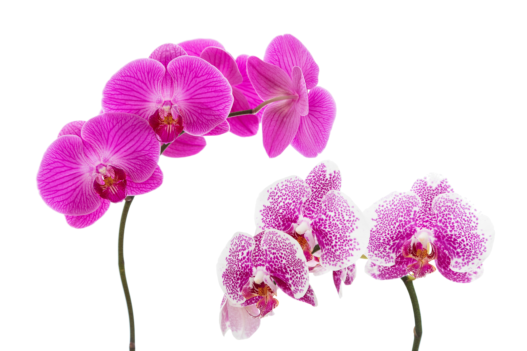 Pink Orchid Blooms on White Background