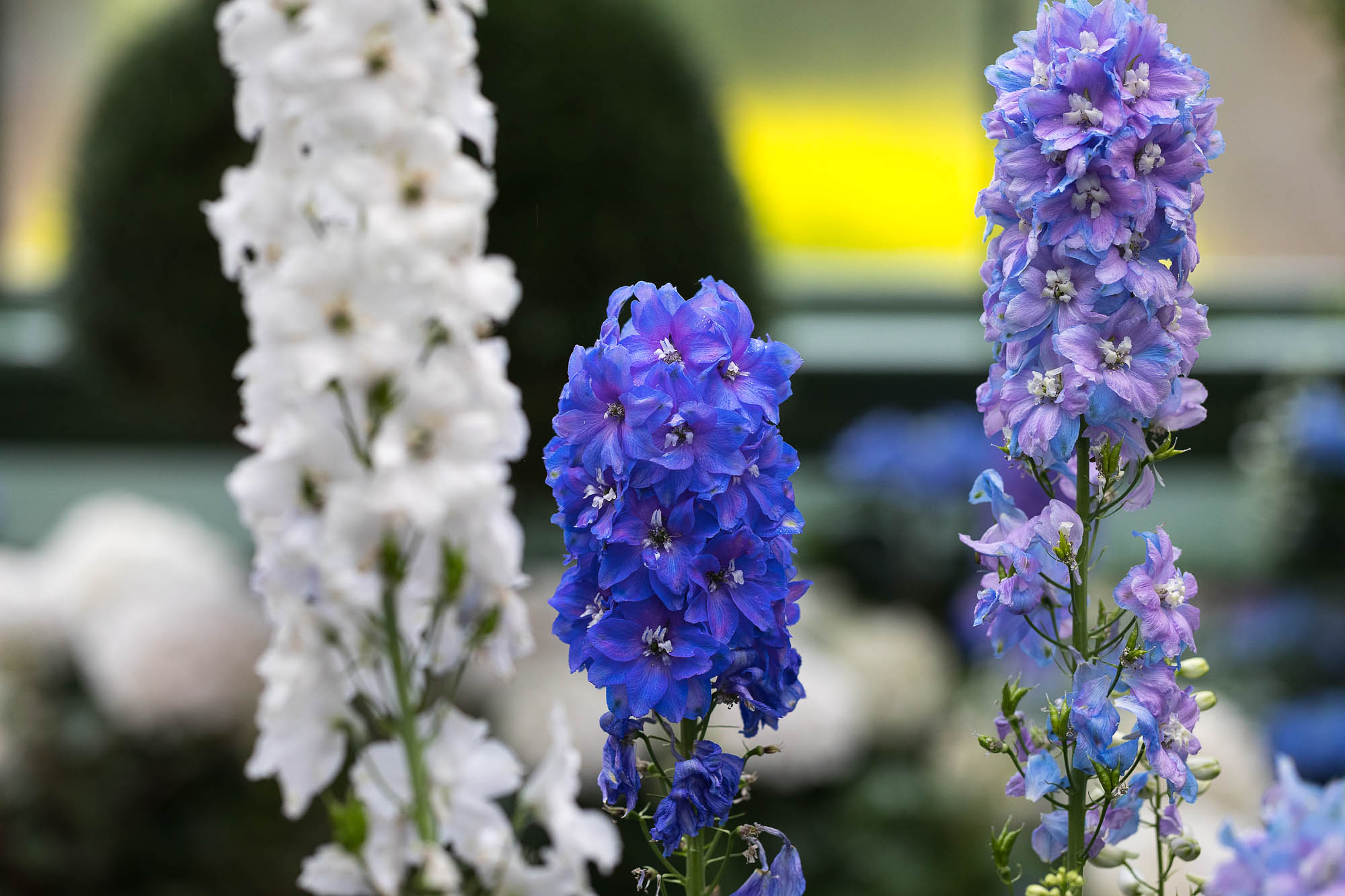 Image of delphiniums taken inside Niagara Parks greenhouse