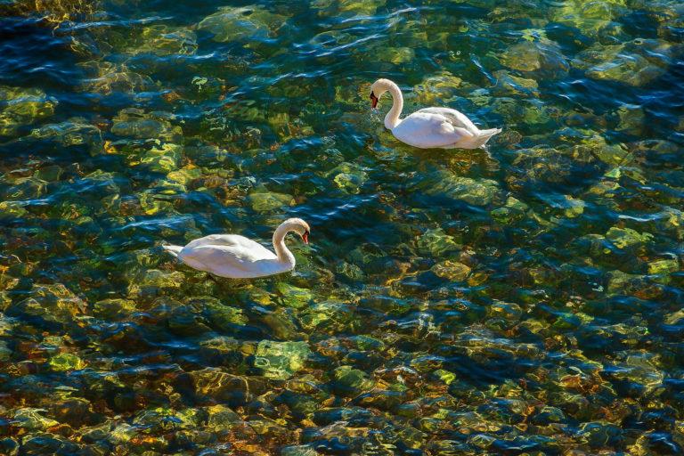 two mute swans - lake ontario