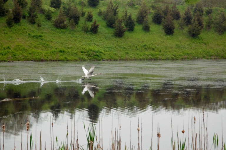 Trumpeter swan takes off - Rouge National Park