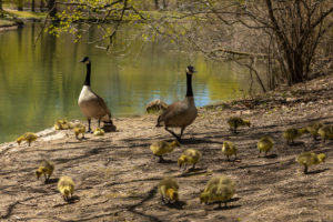Canada Goose Parents and Family