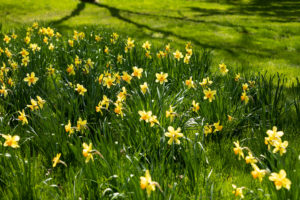 Daffodils in Bloom with Grass in Background