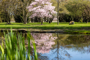 Magnolia Tree Blooming and Reflected in Pond