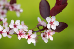 Sand Cherry Blooms