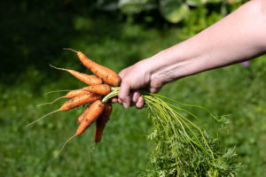Female Hand Holding Fresh Picked Carrots from a Garden