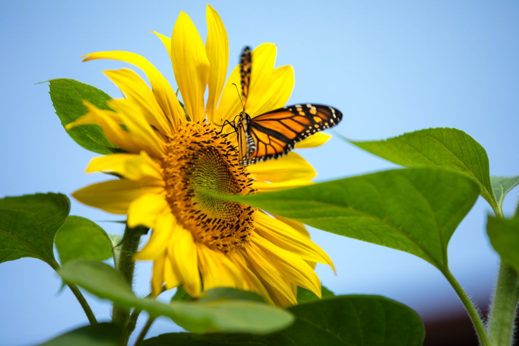 Monarch Butterfly Lands on Sunflower