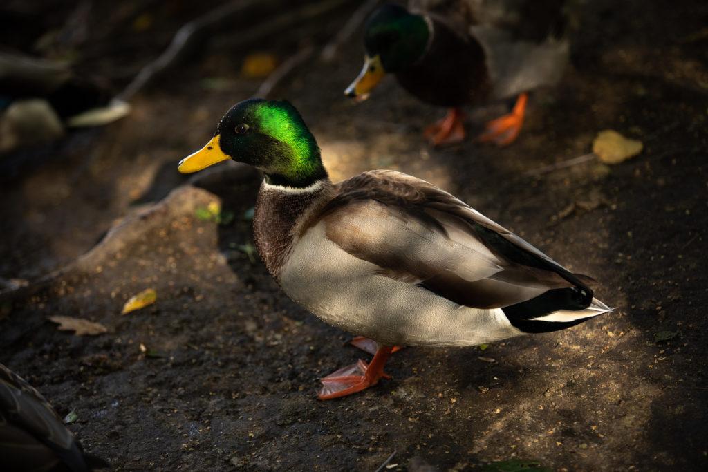 Male Mallard Duck Close-up on Land