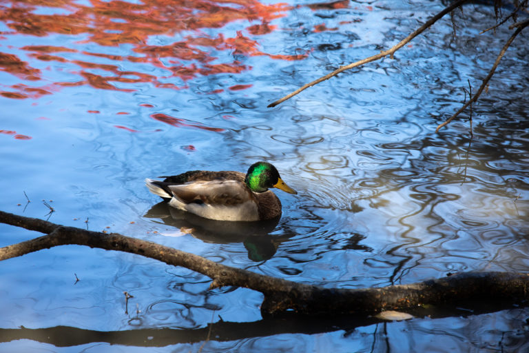 Male Mallard Duck Swimming in Wetland Pond