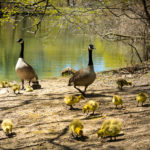 Canada Geese Parents with newborns