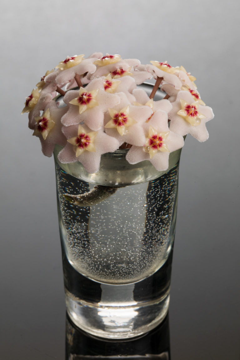 hoya_carnosa blooms arranged in a shot glass