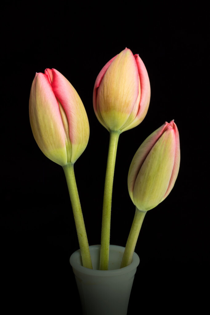 Emerging Tulips