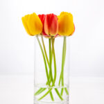 Cut Tulips