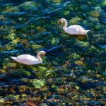 mute swans- Lake Ontario